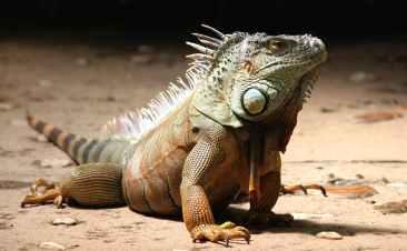 close up of a iguana